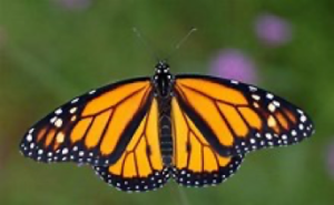 How I Find Inspiration In Monarch Butterflies by @mconnollyauthor #monarch #butterflies #nature #inspiration